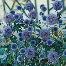 Echinops Ritro - Metallic Blue - Appx 110 seeds 2 grams - Perennial