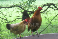 10+ Rare Variety Ginger Red Old English Bantam chicken fertile hatching eggs