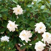 die Blüten der Gardenie erfüllen den Raum mit einem köstlichen Jasmin-Duft.