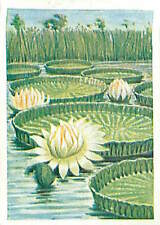 N°170 IMAGE CARD Victoria d'Amazonie amazonica Nymphaeaceae Nénuphar 30s