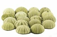 "Sea Urchin | Green Sea Urchin Shells 1 3/4""-2 1/2"" | 18 Pack for Craft & Decor"