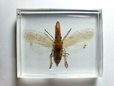 ZANNA TAPIRA. Real Lantern bugs fulgoridae insect embedded in clear resin.