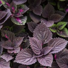 10 PALISANDRA BLACK COLEUS Giant Exhibition Solenostemon Nettle Blue Flower Seed