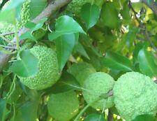 6 Osage Orange Hedge Apple Horse Natural Cancer Treatment Bug Insect Repellent