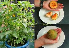 """'Myria' earliest """"Bush"""" Cantaloupe melon available! 45 days to maturity! SEEDS."""