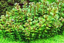 Rotala Bonsai - Live Aquarium/Fish Tank Plant