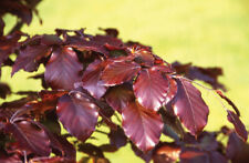 Copper Beech	(Fagus sylvatica Purpurea) 10 seeds