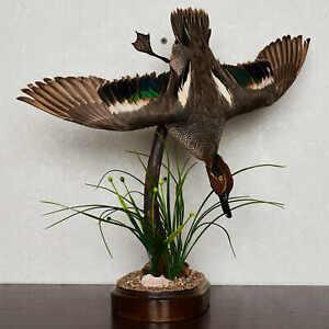 GARGANEY DUCK TAXIDERMY BIRD MOUNT - DUCK, WATERFOWL MOUNTED, STUFFED BIRDS