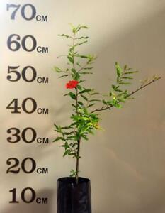 POMEGRANATE WONDERFUL FRUIT TREE (Already Fruiting)