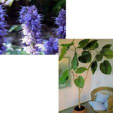 Schmetterlings-Lakritze und Riesenblatt-Ficus: 2 tolle Sorten im Sparset