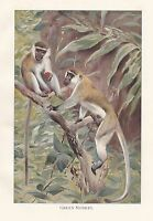 C1914 Naturel History Imprimé~ Vert Singe ~ Lydekker