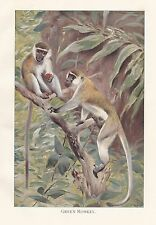 c1914 NATURAL HISTORY PRINT ~ GREEN MONKEY ~ LYDEKKER