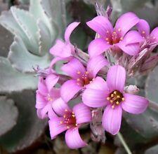 WINTER CHARM Kalanchoe pumila purple flowers succulent plant in 70mm pot