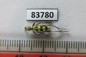 83780****Cerambycidae sp. Vietnam. Nghe An*****