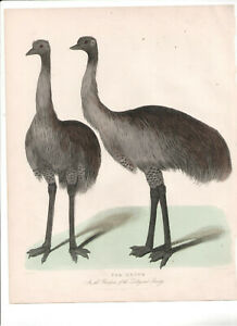 1866 Hand Coloured Engraving  Emus, Buffon Natural History