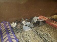 15 Button Quail Hatching Eggs