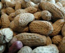 ☺50 graines d arachide hypogaea à semer / cacahuète peanut