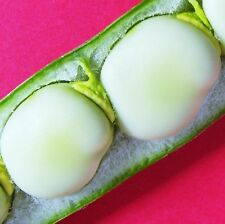 BROAD BEAN - WITKIEM MANITA - 60 Seeds [..early quality from a spring sowing]