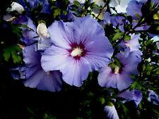 Straucheibisch Hibiskus Malve blau Marina 25 Samen