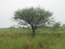 8 graines de BAYAHONDE (Prosopis juliflora) HONEY MESQUITE SEEDS SEMILLAS SAMEN