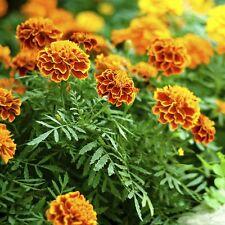 35 Graines de fleurs d'Oeillet d'Inde Méthode BIO anti puceron ami jardin légume