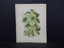 Botanical, WildFlowers, Issac Sprague C. 1883 #09 The Wild Clematis