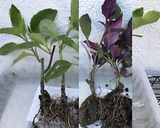1 Longevity Spinach, 1 Okinawa Spinach, tropical Perennial Edible Live Plants