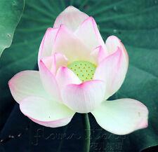 10 Seeds Jade Red Lotus Seeds Water Plants Fragrance Aquatic Flowers