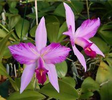 Orchidea specie Laelia anceps V. disciplinata