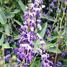 HAPPY WANDERER SEEDS HARDENBERGIA VIOLACEA CLIMBER EVERGREEN 30 SEED PACK
