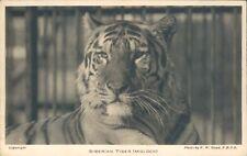 Postcard Siberian Tiger ( Molock ) Posted 1937 Edward VIII stamp