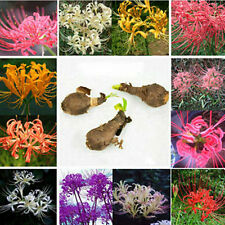 5PCS Bulbs Lycoris Radiata Spider lily Bulb Seeds Garden Flower Seed Rare F00