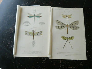 Dragon Fly/ May Fly  - D' Orbigny D' Histoire Naturelle, published Paris ca:1840