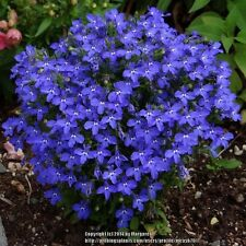 Lobelia Blue Carpet Flower Seeds (Lobelia Erinus) 200+Seeds