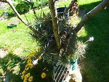 plantes aériennes  soleil ,sans terre ,tige de 3ramificati ,se ramifient  vite
