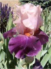 A Pink Over Maroon Bearded Iris Rhizome Tall & Big Beautiful Flowers