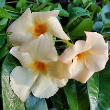 Mandevilla- 'Apricot' Lot of 2 ~ Starter Plants~
