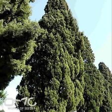 ITALIAN CYPRESS (Cupressus Sempervirens) 50+EXTRA seeds (#48)