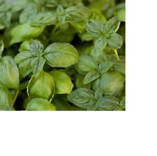 Large Leaf Italian Basil Seeds  100+ Fresh Hand Packaged Seeds
