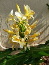 Yellow Butterfly Ginger - bare root Rhizome!