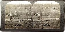 Keystone Stereoview Cut & Burned-Over Timber Land, MN 1910's Education Set # B