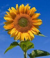 Riesen-Sonnenblume,  der schnellwüchsige gelbe Gigant !