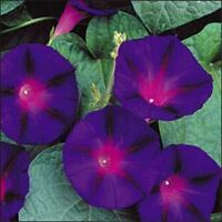Morning Glory- Grandpa Ott- 100 Seeds