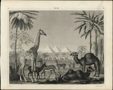 Egypt pyramids giraffe camels other Animals 1855 nice antique engraved print