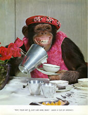 1 Vintage Art Photo Book Page Chimp Picture 1960 Monkey Time for Tea Fancy Hat