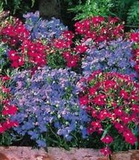50+  LOBELIA REGATTA BLUE/ROSE MIX TRAILING  PERENNIAL FLOWER SEEDS