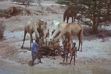 629094 camellos potable Somalia A4 Foto Impresión