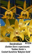 THG Orchid DENDROBIUM (Gold Dorn x speciosum) x Coolart Sshine 40mm  NEW RELEASE
