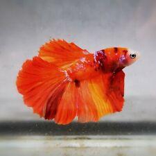 Live Betta Fish - Male - Koi SUper Fremont Orange  Halfmoon (AMMAUG114)