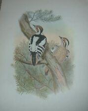 1969 DOERRIES PYGMY WOODPECKER John Gould Color Lithograph Print Asian Bird